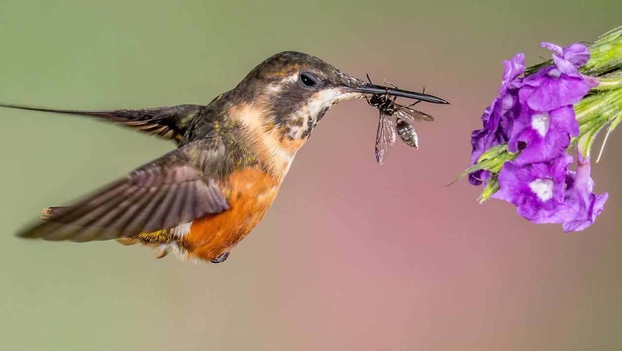 what do hummingbirds eat
